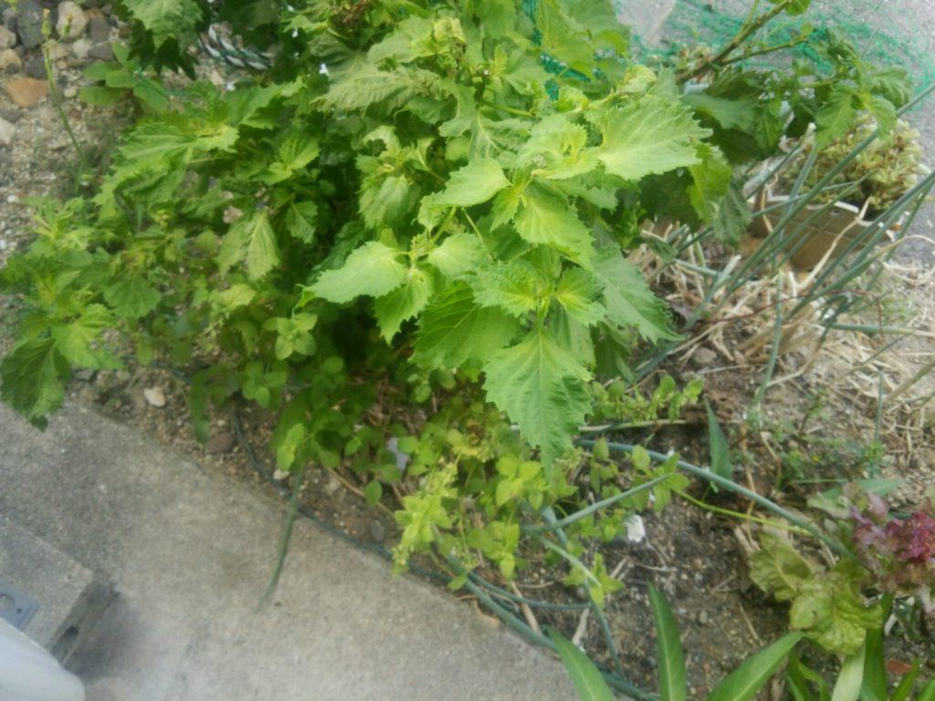 たくさんの種類が勝手に育っています。家庭菜園その後は…