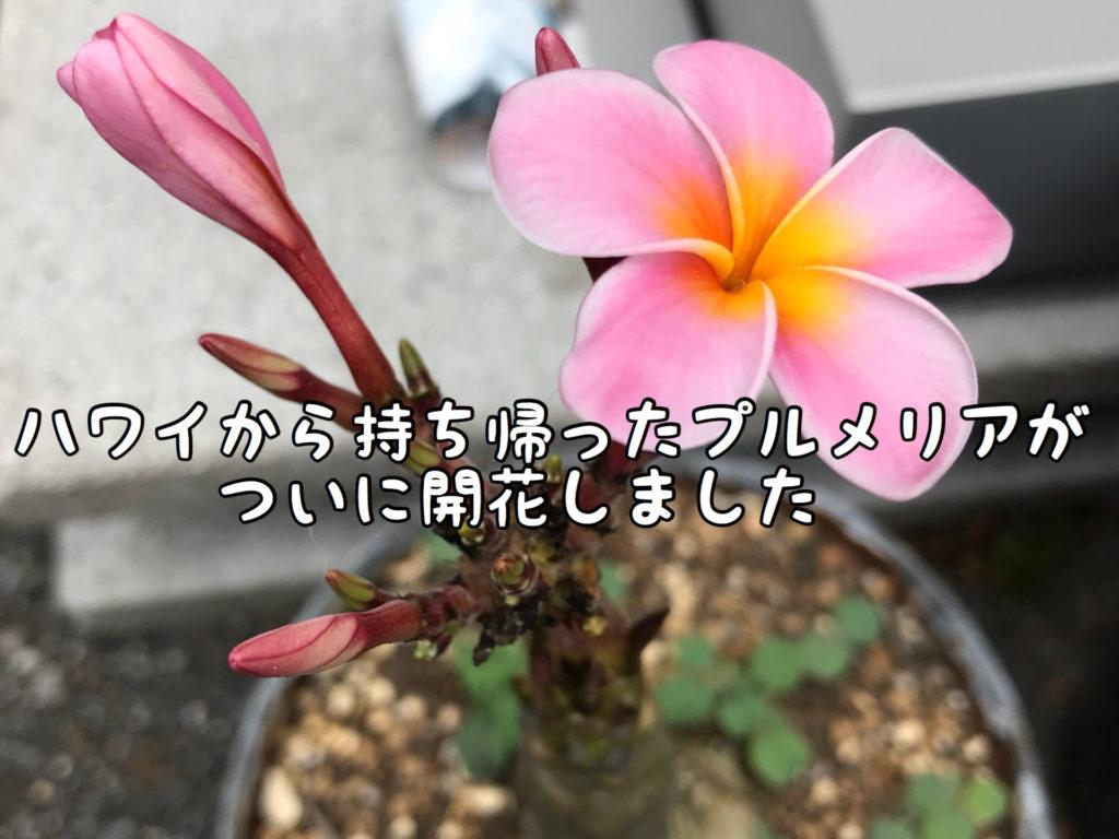 【開花】以前ハワイで買って来たプルメリアがついに!!ついに咲きました!