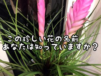 【奇花】これは一体なんていう名前の花?多肉たちが一斉に蕾をつけました