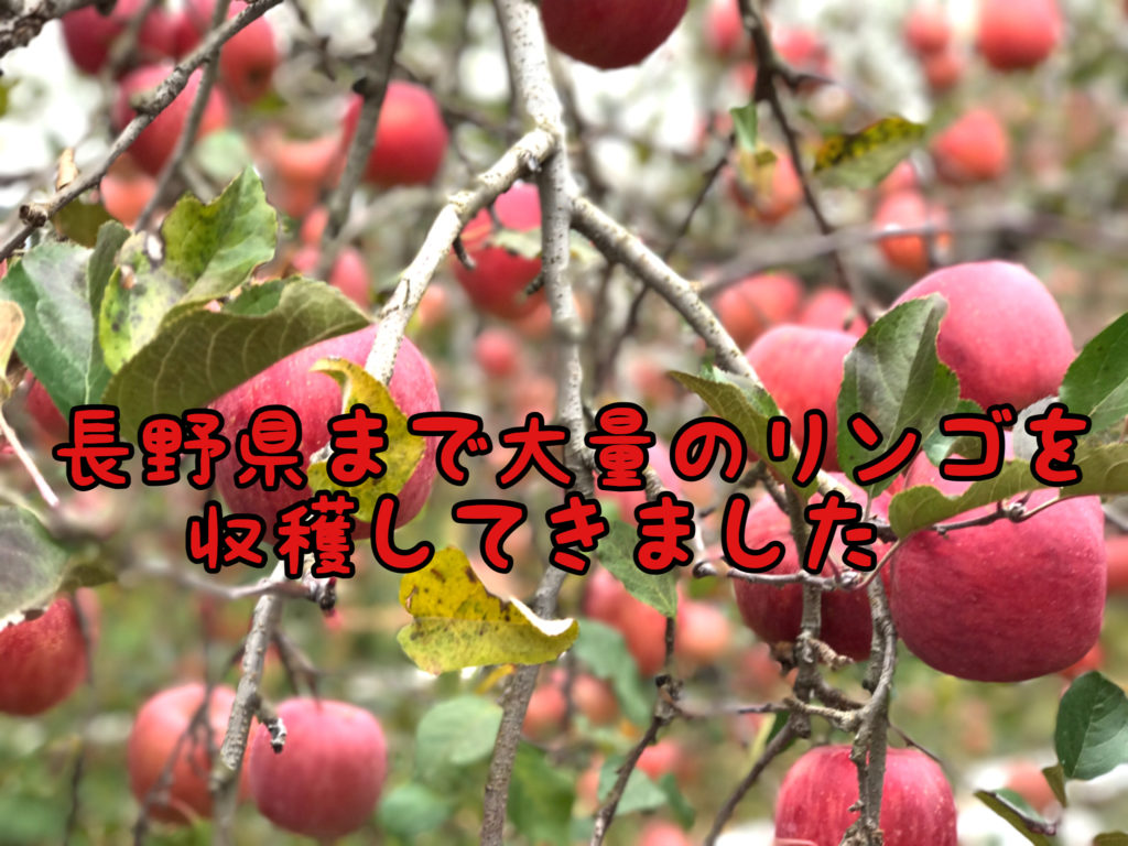 【豊作】今年も長野県まで旅行を兼ねて大量のりんごを収穫に行って来ました