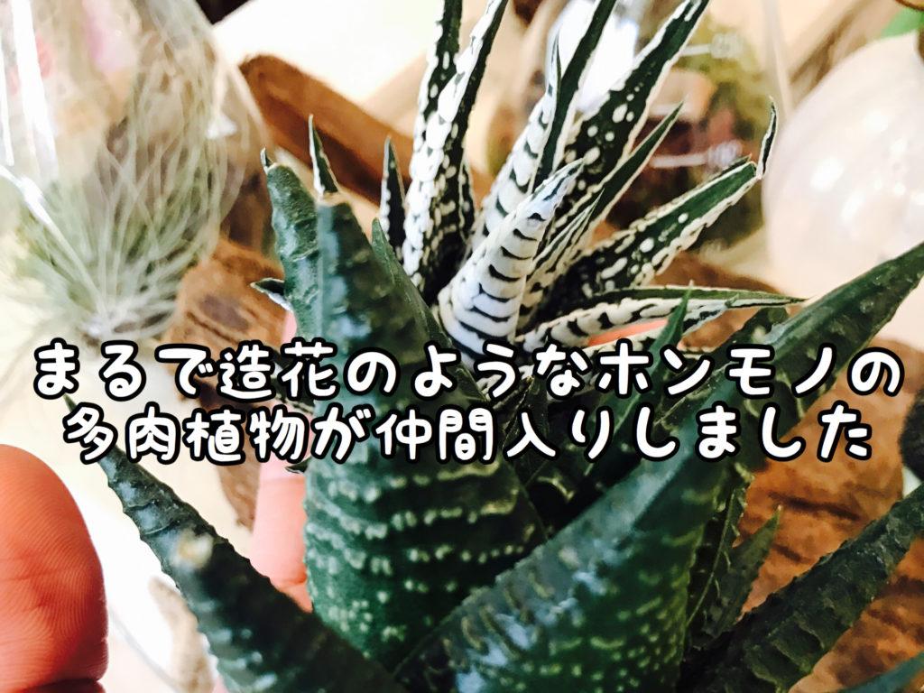 【多肉】ニセモノのような本物の植物を仕入れてきました