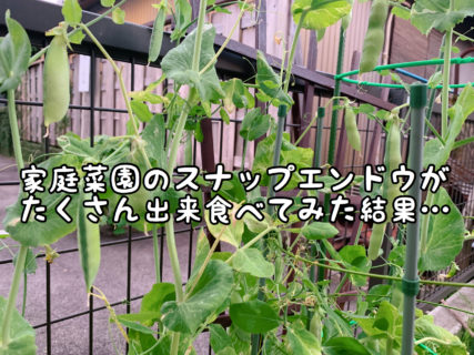 """【難易度高】無事にたくさんの実をつけた家庭菜園の""""スナップエンドウ""""ですが・・・"""