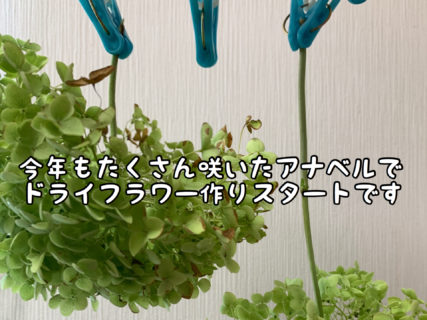 【製作】自宅の庭に紫陽花が咲いていたらこれからが絶好のドライフラワーシーズンです