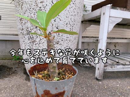 【期待】今年も開花なるか!?今後の行方に注目です