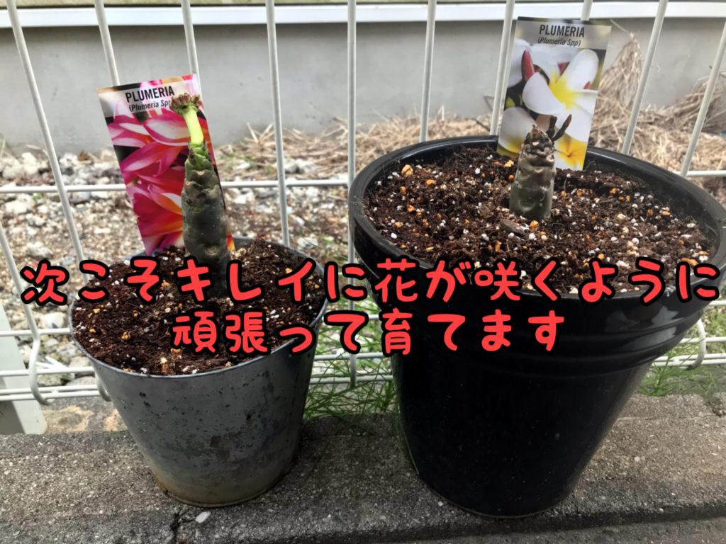 【プルメリア】今度こそステキな花が咲くように可愛がって育てます!!!