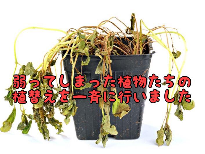 【店内外アイテム】夏場に弱ってしまった植物たちの植え替え作業を行いました