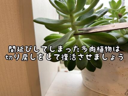 """【植物】間延びしてしまった多肉ちゃんは""""切り戻し""""をしましょう"""