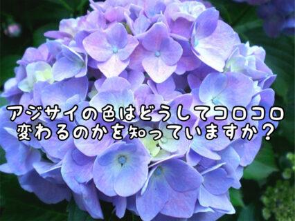 【雑学】季節によって紫陽花の色が変わっていくのはどうしてなの?