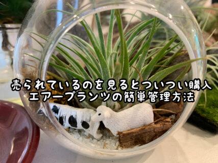 【店内アイテム】実は簡単?エアープランツに花を咲かせる方法