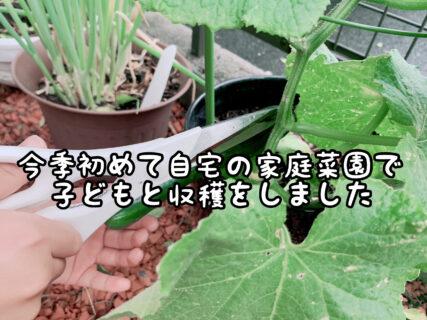 【歓喜】以前子どもたちと植えた自宅の家庭菜園で今季初収穫です